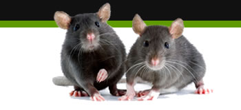rat removal leicester