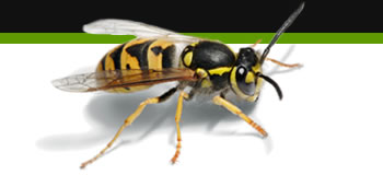 wasp removal leicester